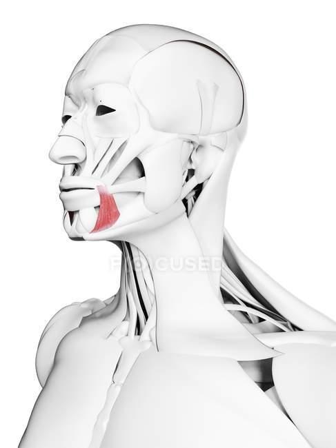 Anatomia masculina mostrando músculo Anguli oris, ilustração computacional . — Fotografia de Stock