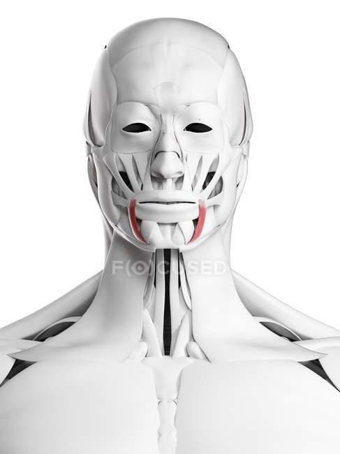Anatomía masculina que muestra el músculo anguli oris, ilustración por computadora . - foto de stock