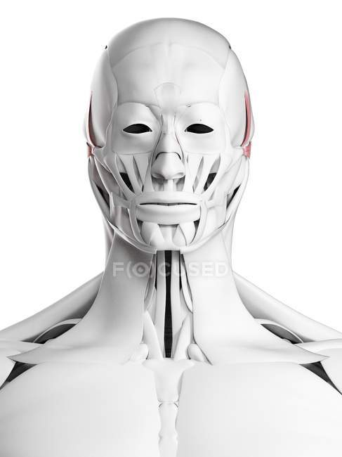 Male anatomy showing Auricularis muscle, computer illustration. — Stock Photo