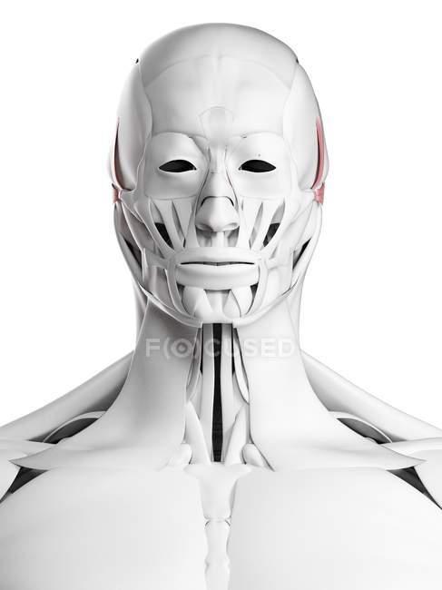 Männliche Anatomie mit Auricularis-Muskeln, Computerillustration. — Stockfoto