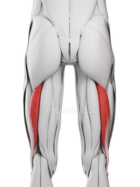 Чоловіча анатомія, що показує Biceps femoris longus м'язи, комп'ютерна ілюстрація. — стокове фото
