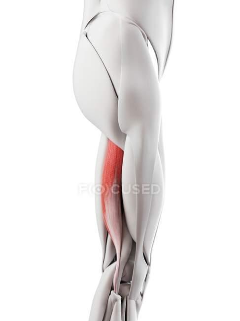 Anatomia masculina mostrando bíceps femoris músculo longo, ilustração do computador . — Fotografia de Stock