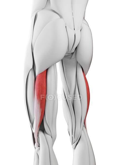 Anatomía masculina que muestra músculo largo del fémur del bíceps, ilustración por computadora . - foto de stock