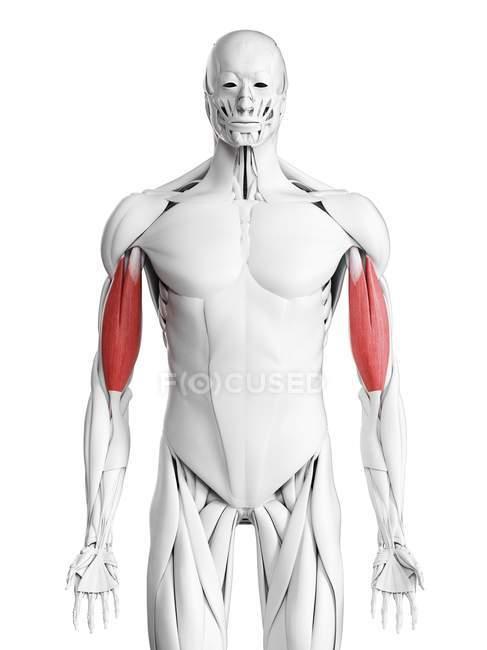 Anatomia masculina mostrando músculo bíceps, ilustração computacional . — Fotografia de Stock