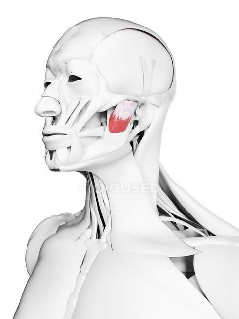 Anatomia maschile che mostra il muscolo massetere profondo, illustrazione del computer . — Foto stock