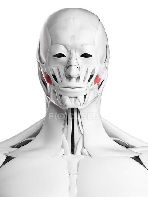 Anatomia masculina mostrando músculo masseter profundo, ilustração do computador . — Fotografia de Stock