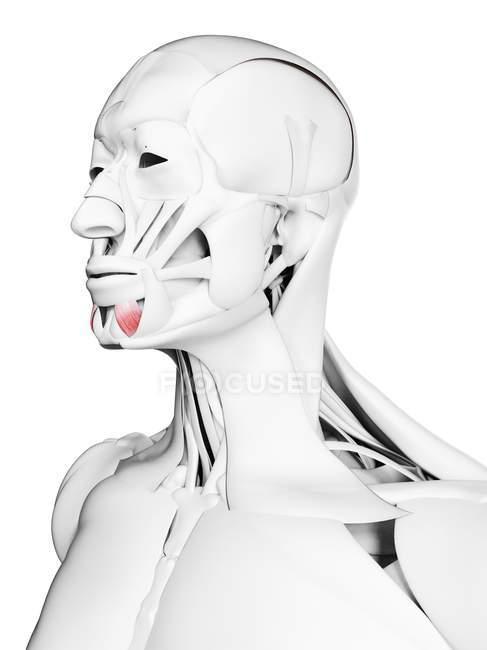 Чоловіча анатомія з зображенням Депресора Лабія Менгіоріса м'яз, комп'ютерна ілюстрація. — стокове фото