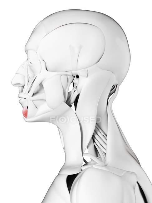 Male anatomy showing Depressor labii inferioris muscle, computer illustration. — Stock Photo