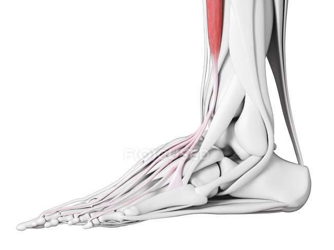 Männliche Anatomie mit Streckmuskel digitorum longus, Computerillustration. — Stockfoto