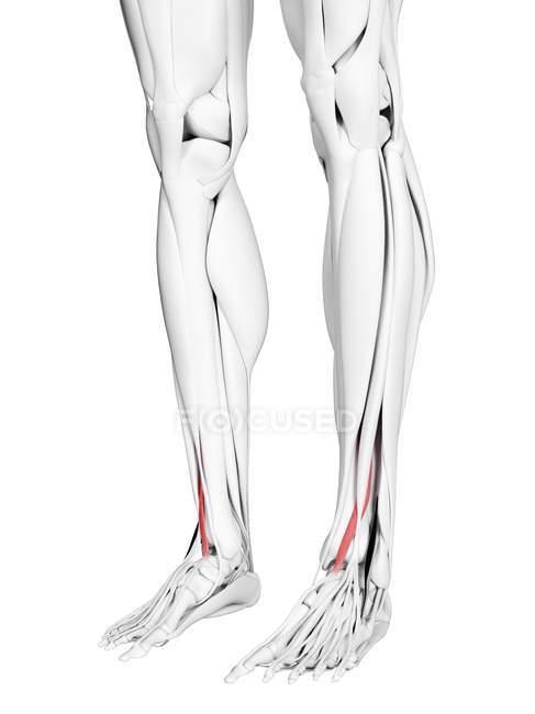 Männliche Anatomie mit Streckmuskel Hallucis longus, Computerillustration. — Stockfoto