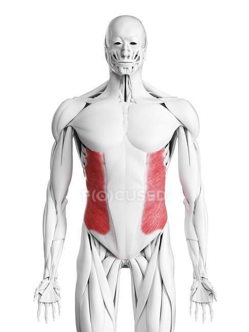 Männliche Anatomie, die äußere Schrägmuskulatur zeigt, Computerillustration. — Stockfoto