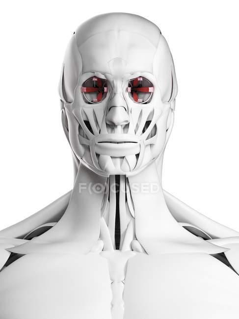 Männliche Anatomie mit Augenmuskeln im Gesicht, Computerillustration. — Stockfoto