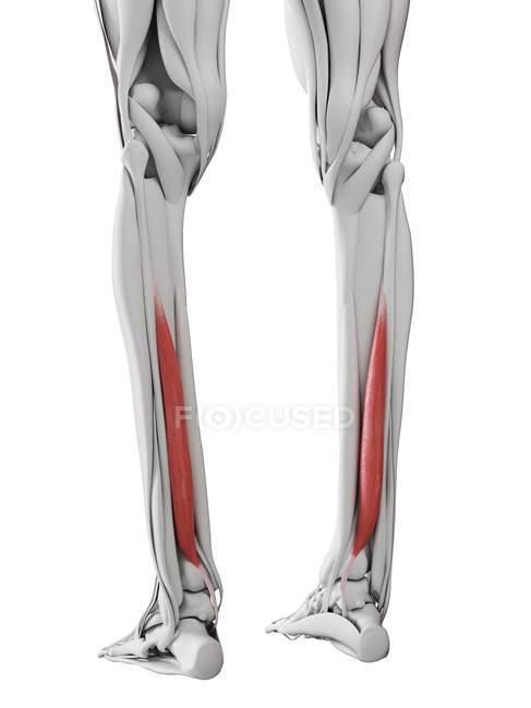 Männliche Anatomie mit Flexor Hallucis Muskel, Computerillustration. — Stockfoto