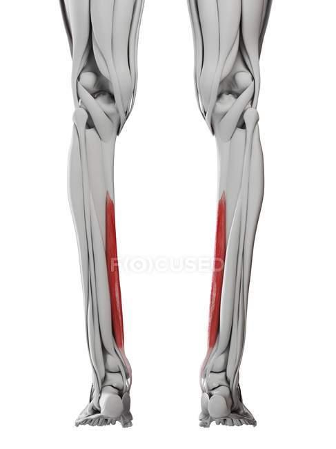 Male anatomy showing Flexordigitorum longus muscle, computer illustration. — Stock Photo