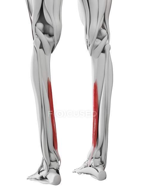 Männliche Anatomie mit Flexordigitorum longus Muskel, Computerillustration. — Stockfoto