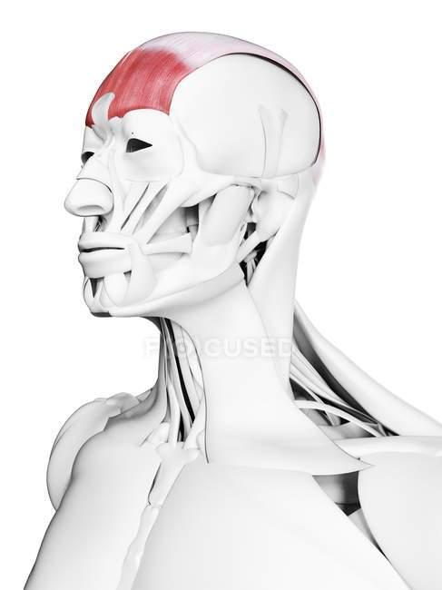 Männliche Anatomie mit Frontalismuskel, Computerillustration. — Stockfoto