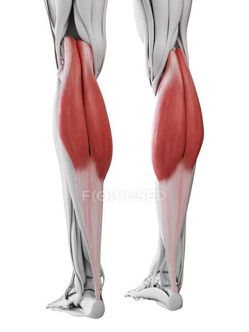 Männliche Anatomie mit Magen-Darm-Muskel, Computerillustration. — Stockfoto