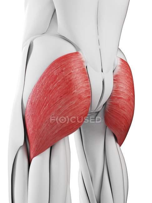 Männliche Anatomie mit Gesäß-Maximus-Muskel, Computerillustration. — Stockfoto
