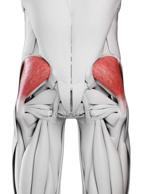 Männliche Anatomie mit Gesäß-Medius-Muskel, Computerillustration. — Stockfoto