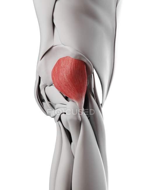 Männliche Anatomie mit Gesäß-Minimus-Muskel, Computerillustration. — Stockfoto