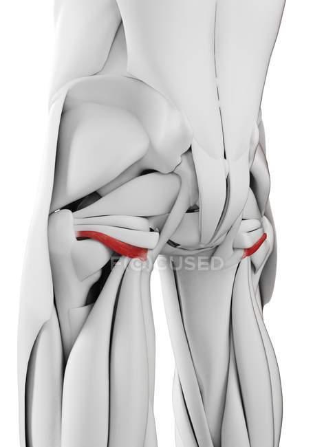 Anatomía masculina que muestra músculo gemelo inferior, ilustración por computadora . - foto de stock