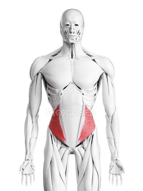 Anatomía masculina que muestra músculo oblicuo interno, ilustración por computadora . - foto de stock
