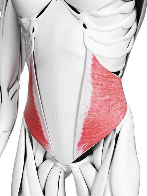 Anatomia masculina mostrando músculo oblíquo interno, ilustração computacional . — Fotografia de Stock