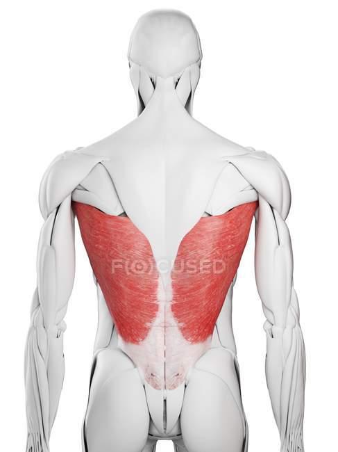 Anatomía masculina que muestra músculo dorsal de Latissimus, ilustración por computadora . - foto de stock