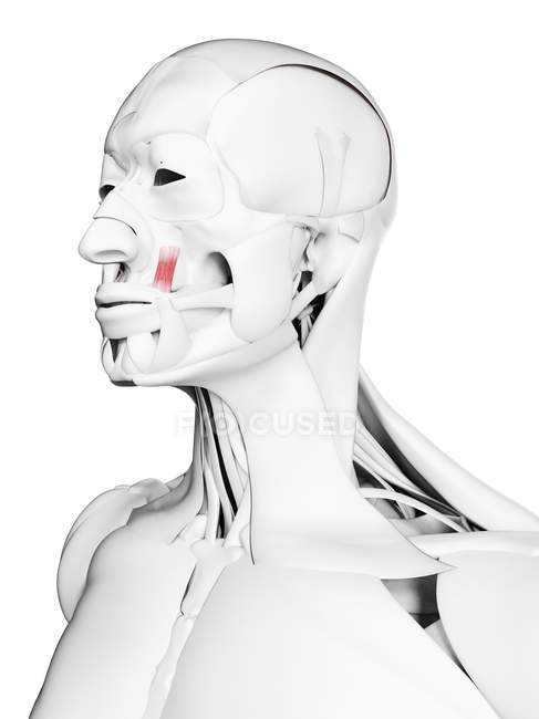 Anatomía masculina que muestra el músculo del ángulo del elevador, ilustración por computadora . - foto de stock