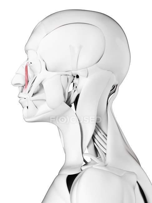 Anatomía masculina que muestra Levator labii superioris alaeque nasi muscle, ilustración por computadora . - foto de stock
