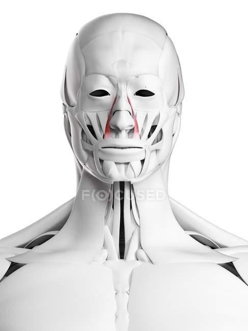 Male anatomy showing Levator labii superioris alaeque nasi muscle, computer illustration. — Stock Photo