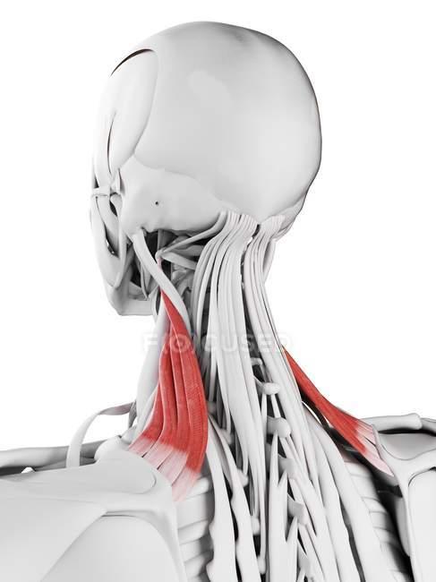 Anatomía masculina que muestra el músculo escapular del elevador, ilustración por computadora . - foto de stock
