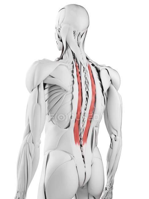Anatomía masculina que muestra el músculo Longissimus thoracis, ilustración por computadora . - foto de stock