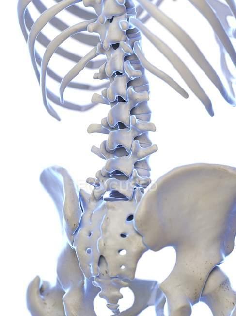 Columna lumbar en esqueleto humano, ilustración digital . - foto de stock