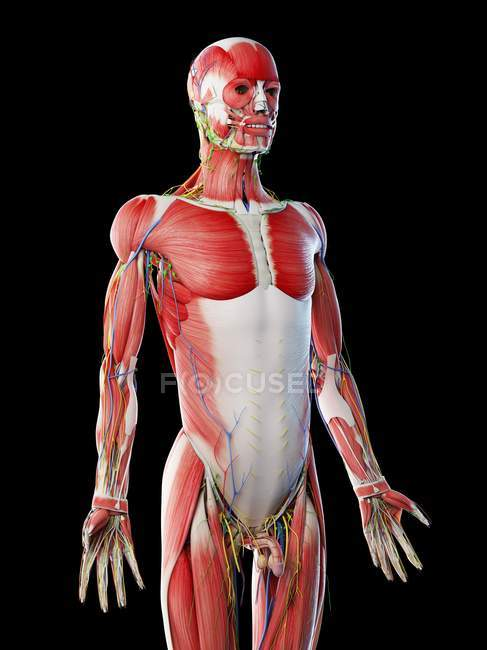 Male anatomy and muscular system, computer illustration. — Stock Photo