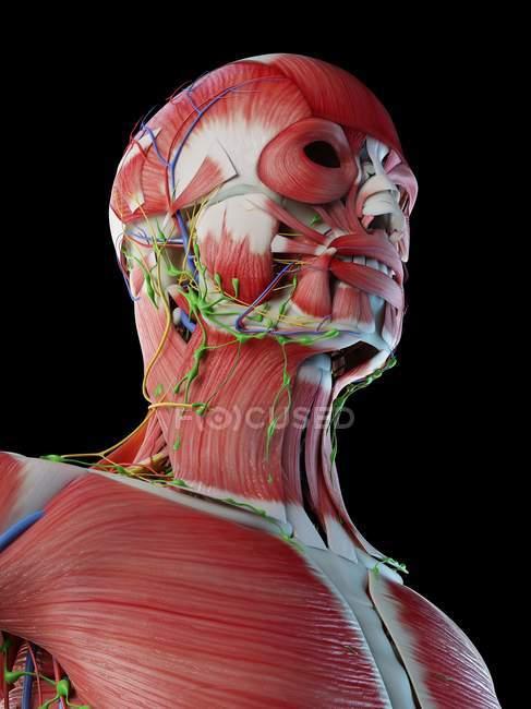 Anatomia masculina da cabeça e pescoço com musculatura, ilustração computacional . — Fotografia de Stock