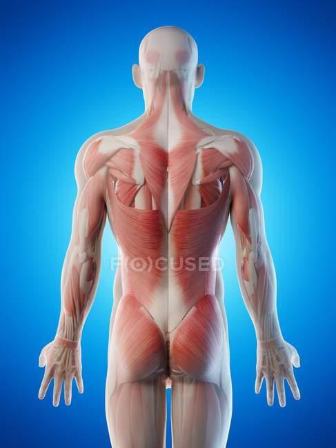 Anatomie masculine et système musculaire, illustration par ordinateur . — Photo de stock