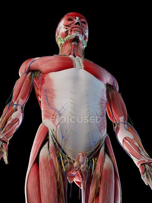 Anatomia masculina e sistema muscular, ilustração computacional . — Fotografia de Stock