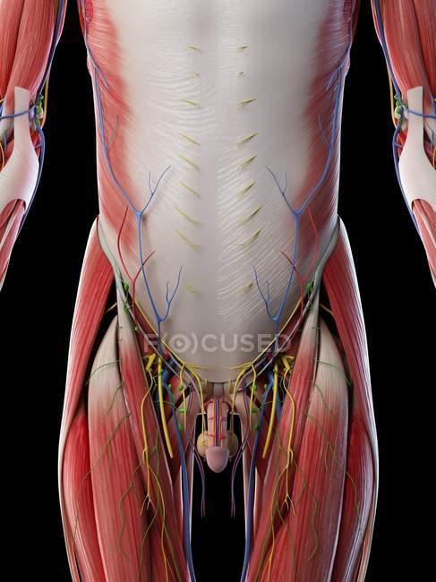 Anatomía y musculatura de la parte inferior del cuerpo masculino, ilustración por computadora . - foto de stock