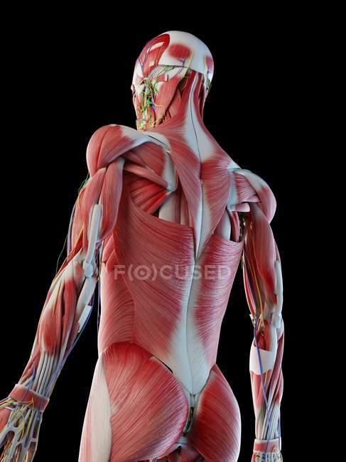 Мужская анатомия и мышечная система, компьютерная иллюстрация . — стоковое фото