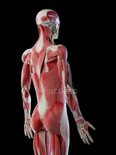 Anatomia maschile e sistema muscolare, illustrazione computerizzata . — Foto stock