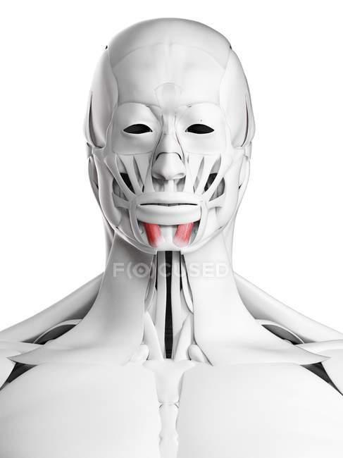 Anatomía masculina que muestra el músculo Mentalis, ilustración por computadora . - foto de stock