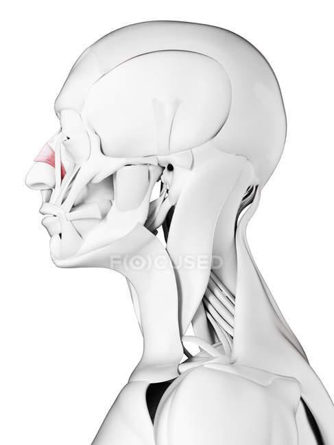 Anatomía masculina que muestra músculo transverso de Nasalis, ilustración por computadora . - foto de stock