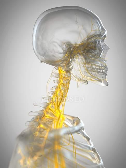 Nervios del cuello humano, ilustración por computadora . - foto de stock
