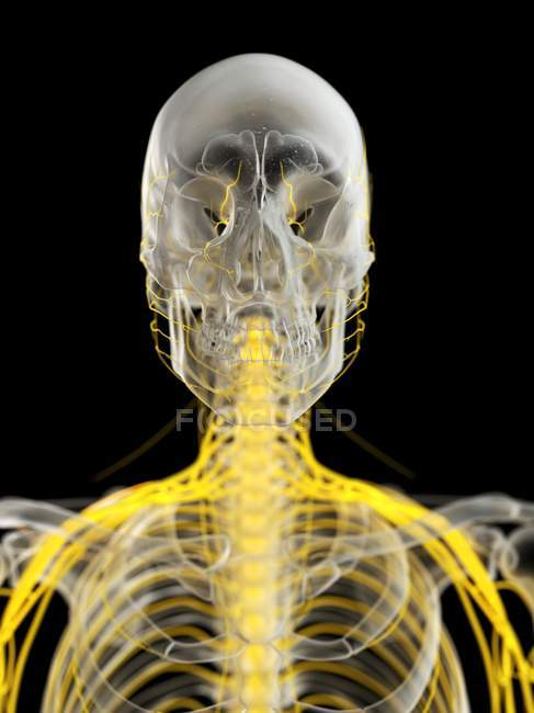 Nervios del cráneo humano, ilustración por computadora . - foto de stock