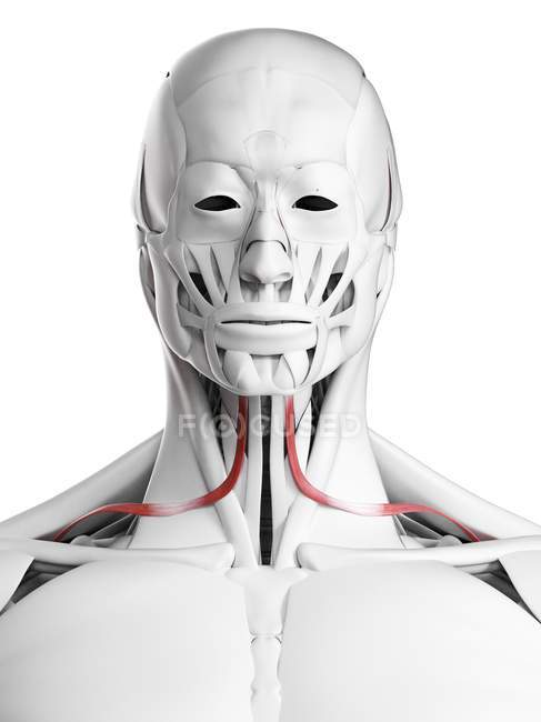 Anatomia masculina mostrando músculo omohioideo, ilustração computacional . — Fotografia de Stock
