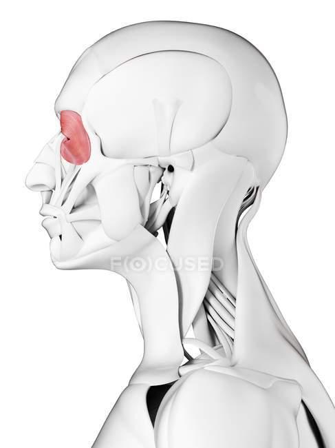 Anatomía masculina que muestra músculo Orbicularis oculi, ilustración por computadora . - foto de stock