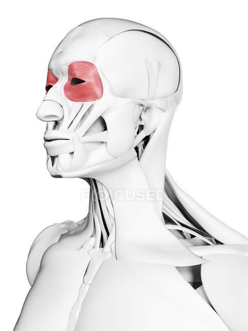 Anatomia masculina mostrando músculo Orbicularis oculi, ilustração computacional . — Fotografia de Stock