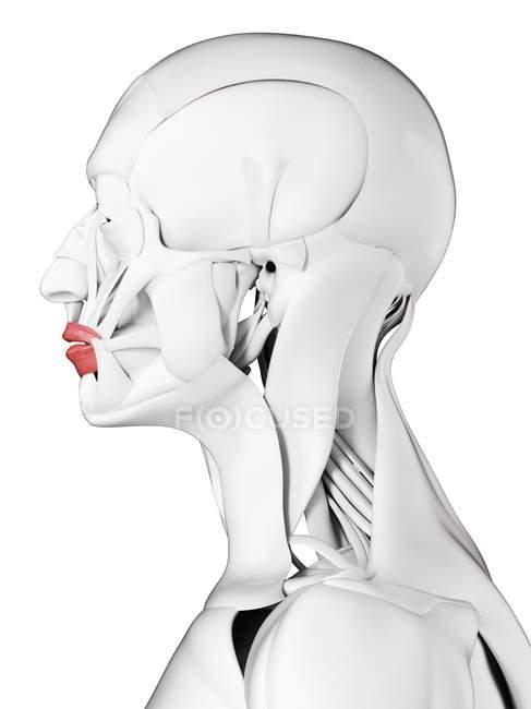 Anatomia masculina mostrando músculo Orbicularis oris, ilustração computacional . — Fotografia de Stock
