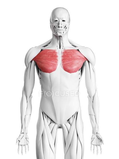 Anatomía masculina que muestra músculo mayor de Pectoral, ilustración por computadora . - foto de stock